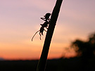 An ant of the genus Ectatomma foraging at sunset in the Peruvian rainforest. Photo by C.S. Moreau.