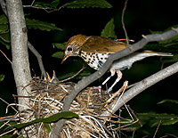 (3)	Wood Thrush equipped with geolocator feeding young at its nest, taken by Elizabeth Gow.