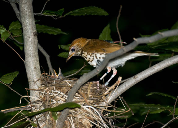 Wood Thrush equipped with geolocator feeding young at its nest, taken by Elizabeth Gow.