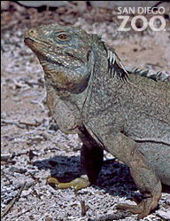 Visit the Rockin' Rock Iguana Recovery Program