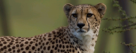Do You Hear What I Hear: Conservation Bioacoustics in Cheetahs